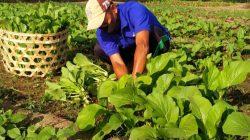 Manfaatkan Lahan Kosong, WBP Lapas Sumbawa Tanam Sayur