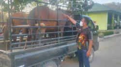 Tanpa Dokumen Resmi, Satgas Pamtas Yonif 742/SWY Amankan 23 Hewan Ternak Yang Masuk ke Indonesia